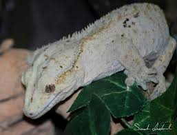 Crested Gecko Shedding Help by Any Crested Gecko Owners Tapatalk