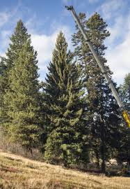Christmas Tree Species For u s capitol christmas tree cut in idaho forest territory