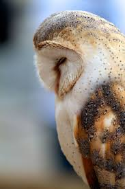 Best 25+ Barn Owls Ideas On Pinterest | Beautiful Owl, Owls And ... Catching Prey In The Dark Barn Owl Tyto Alba Owls Make A Comeback Iowa The Gazette Of Australia Australian Geographic How To Build Or Buy Nest Box Company Best 25 Ideas On Pinterest Beautiful Owl Owls And Modern Farmer Absolutely Stunning Barn Drawing From Artist Vanessa Foley Audubon California Starr Ranch Live Webcams Red By Thef0xdeviantartcom Deviantart Tattoo Scvnewscom Opinioncommentary Beautifully Adapted 9 Best Images A Smile Animal Fun