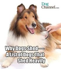 toy dog breeds that don t shed animal love 3 pinterest toy