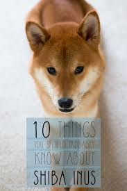 List Of Dogs That Shed A Lot by Shiba Inu Temperament U0026 Other Things You Should Know About