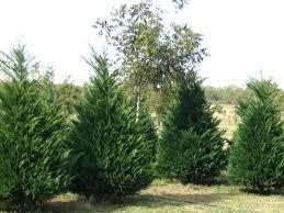 Leyland Cypress Christmas Tree Farm by Types Of Christmas Trees Christmas Tree Types Different Types