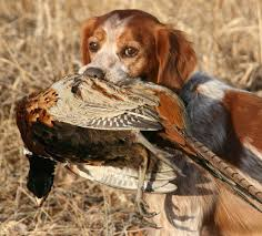 Do Brittany Spaniels Shed Hair by Breed Profile The French Brittany Gun Dog Magazine