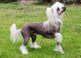 What Kind Of Dogs Shed The Most by Breeds Of Dogs And Cats With No Hair