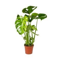 zimmerpflanzen günstig kaufen kaufland de