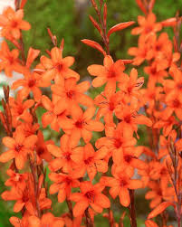 watsonia pyramidata glow bulbs buy bugle lilies