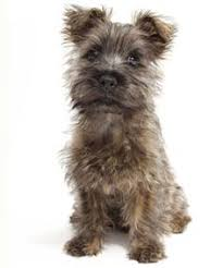 No Shed Small Dogs by Piercing Scottie Eyes Dogs Pinterest Terrier Scottish