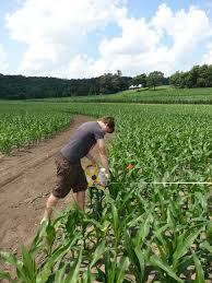Lodi Pumpkin Patch Wisconsin by Cutting The Treinen Farm 2013 Kraken Corn Maze Treinen Farm
