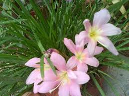 buy flower bulbs india groveflora deals and offers on