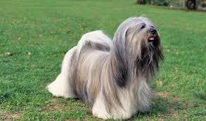 lhasa apso puppy shedding lhasa apso breed information
