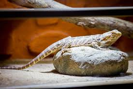 Bearded Dragon Shedding Process by How Much Does A Bearded Dragon Cost The Truth Bearded