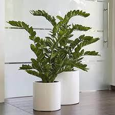 standard zimmerpflanze künstlich zamioculcas glücksfeder