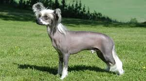 Protective Dog Breeds That Dont Shed by 18 Active Dog Breeds That Dont Shed Top 30 Dogs That Don T