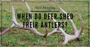 when do deer shed their antlers here s the experts point of view