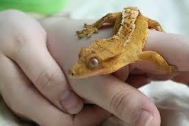 Crested Gecko Shedding Behavior by Crested Gecko Brookshire Exotics