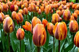 tulip princess irene tulip bulbs from dutchgrown