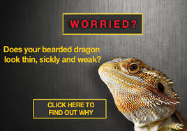 Bearded Dragon Heat Lamp Went Out by Why Is My Bearded Dragon Not Eating 7 Solutions To Help Your