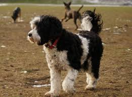 Portuguese Water Dog Non Shedding by The Portuguese Water Dog Best Friend Of The Obama Family