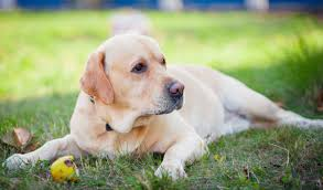 Dogs That Dont Shed And Smell by Easy Steps To Grooming A Labrador Who Hates Being Brushed