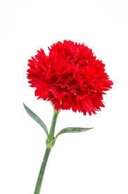 Carnation Karanfil dianthus caryophyllus d means