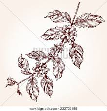 Coffee Tree Branch Freehand Drawing In Sketch Style Plant Concept With Leaf