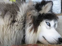 it s a malamute though 136595792 added by gharshi at huskies