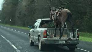 100 Truck Report Driver Who Put Horse In Bed Of Truck Could Face Charges
