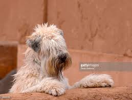 Do Irish Wheaten Terriers Shed by Portrait Of Soft Coated Wheaten Terrier Stock Photo Getty Images