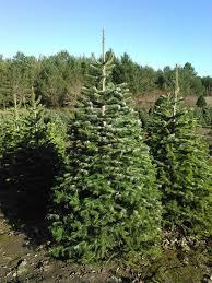 Christmas Tree Aphids by Sleepy Hollow Tree Farm