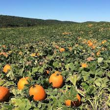 Pumpkin Picking In Ct by Lyman Orchards Corn Maze U0026 Pumpkin Picking Connecticut Haunted