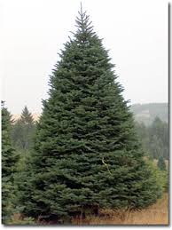 10 Foot Tall Noble Fir Christmas Tree
