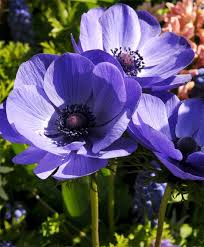anemone blue poppy single anemone giants indoor bulbs
