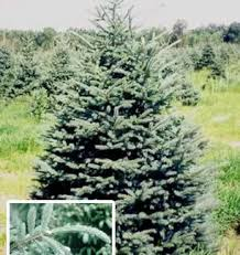 Plantable Christmas Trees Columbus Ohio timbuk farms christmas trees granville ohio