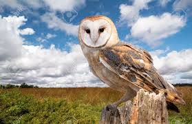 A Barn Owl Perched On A Dead Tree Stump In A Meadow. Barn Owls ... Barn Owl Perching On A Tree Stump Facing Forward Stock Photo The Owls Of Australia Australian Geographic Audubon Field Guide Beautiful Perched 275234486 Barred Owl Vs Barn Hollybeth Organics Luxury Skin Care Why You Want Buddies Coast News Group Sleeping By Day Picture And Sitting Venezuela 77669470 Shutterstock Rescue Building Awareness Providing Escapes And Photography Owls Owlets At Charlecote Park Barnaby The Ohio Wildlife Center