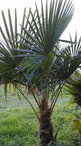 prix des palmiers exterieur le palmier le moins cher du poitou charentes la palmeraie