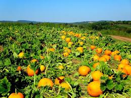 Pumpkin Picking Ct Best by Pumpkin Patch At The Orchards Picture Of Lyman Orchards
