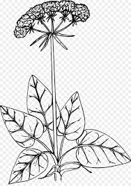 Floral Design California Buckwheat Drawing Ornamental Plant