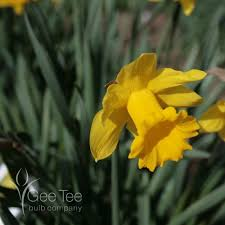 buy narcissus king alfred bulbs daffodil narcissi 25kg
