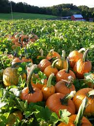 Pumpkin Patch Maryland by Mentioned By Usda Blog Community Supported Agriculture Maryland