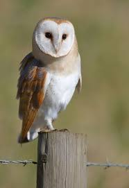 188 Best Barn Owl Images On Pinterest | Barn Owls, Beautiful Birds ... Watch The Secret To Why Barn Owls Dont Lose Their Hearing 162 Best Owls Images On Pinterest Barn And Children Stock Photos Images Alamy Owl 10 Fascating Facts About Species List Az 210 Birds Drawing Photographs Of Cave By Tyler Yupangco 312 Beautiful Birds