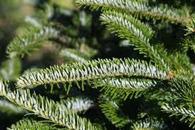 Balsam Christmas Tree Care by Christmas Tree Care Vanluyk Garden Centre And Nursery