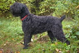 Portuguese Water Dog Shedding Problems by Black Russian Terrier Dog Breed Information Pictures