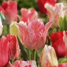 buy triumph tulips hemisphere 25 bulbs or buy in bulk tulip bulbs uk