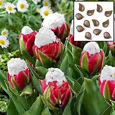 2pcs new cabbage tulip seed bulbs aroma tulip garden seeds ebay