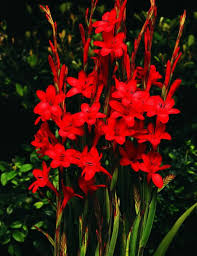 watsonia bugle flower www vanbloem vanbloemgardens