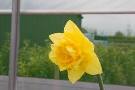 buy golden ducat daffodil bulbs ashridge nurseries