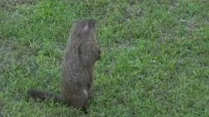 Groundhog Day: Groundhog Walks The Backyard - YouTube More 25 Marauder Groundhogs And Predator Action Airguns Guns Best Baby Groundhog Ideas On Pinterest What Is A Its Like To Plant Backyard Vineyard Wine Enthusiast Magazine Groundhog Day Walks The Backyard Youtube April 2013 Christfaithpower Mdwildlife Ungardened Moments A Wombat In Our Search Results The Smell Of Molten Projects How Do You Keep Groundhogs Out Of Garden Home Outdoor Decoration Tree River June Glassblowerinfo Animals Holland Bucks County Theyre Back Wildlife Removal Joplin Neosho Carthage Mo