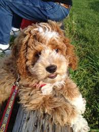 Do F2 Cockapoos Shed by 18 Best Cockapoo Breeders Images On Pinterest Search Cockapoo