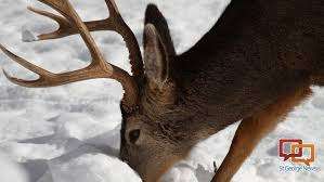 no plans for statewide ban on antler gathering this season st
