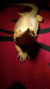 Bearded Dragon Shedding Process by 904 Best Reptiles Images On Pinterest Reptiles Bearded Dragon